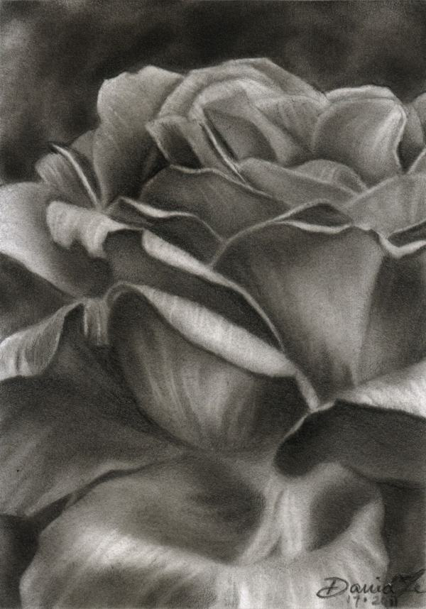 Aceo Flower . 17 Rose 12 Original Pencil