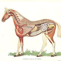 Horse Gi Diagram 99 Ford Ranger Fuse Box Veterinary Print 1920s Internal Organs Of