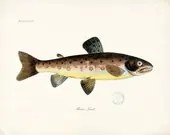 Fish Illustration - Vintage Brown Trout Natural Hsitory Wall Decor Print 8x10 - vintagebytheshore