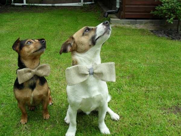 Rustic Wedding Dog Ring Bearer Dog Bow Tie Burlap by smccathie