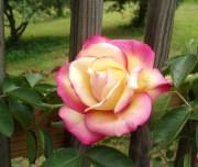 peace rose hair flower clip realistic