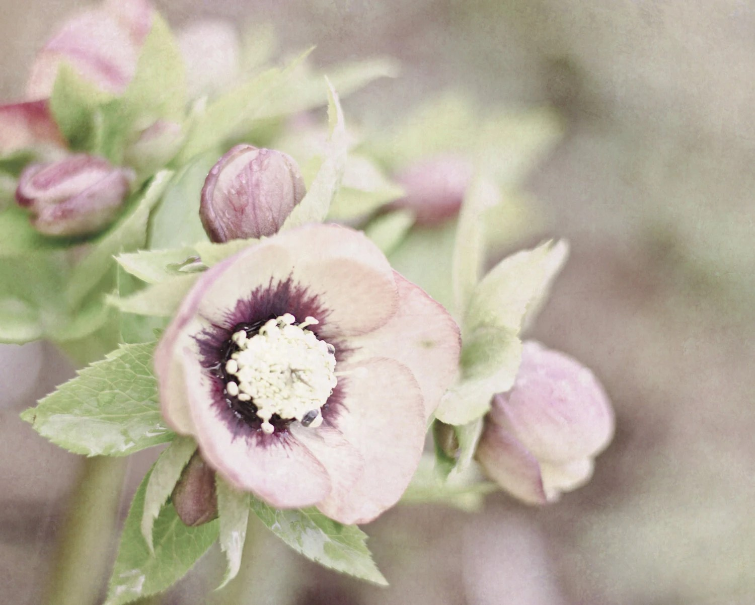 Photograph 8x10 Lenten Rose Flower Print Purple Green Botanical Hellebore Picture Spring Floral Home Decor Easter Wall Art - PureNaturePhotos