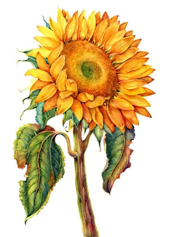 sunflower 10 10.00