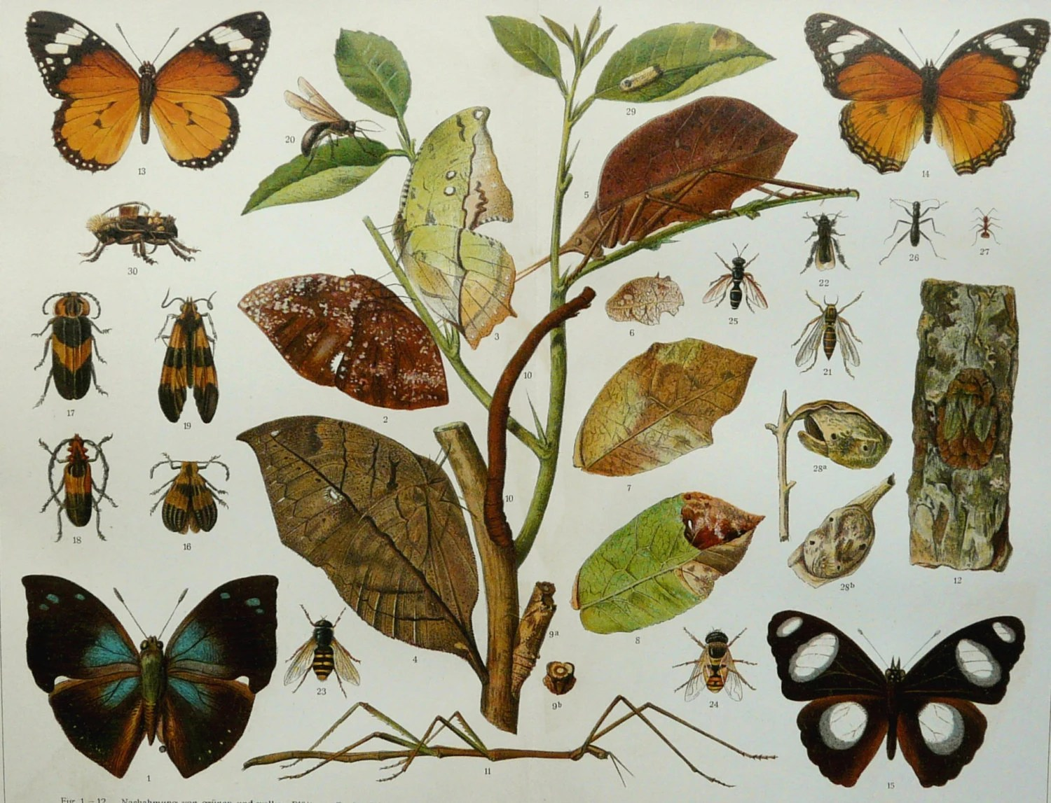 Antique Print Of Camouflage And Mimicry By