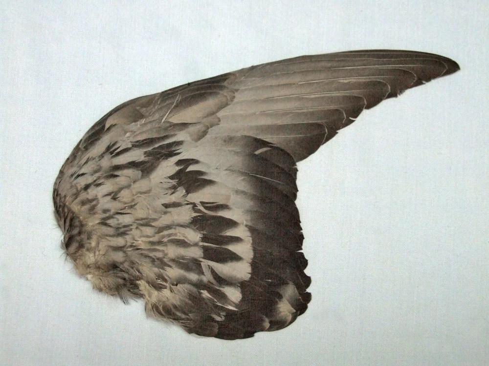 ROCK DOVE WING item A real bird part for taxidermy by
