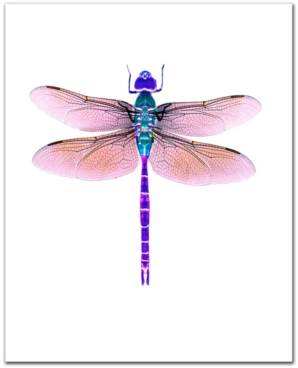 dragonfly art giclee print. 8 x