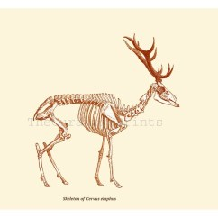 Deer Skeleton Anatomy Diagram Spotlight Wiring 4 Pin Relay Red Print From Antique Illustration Recovered