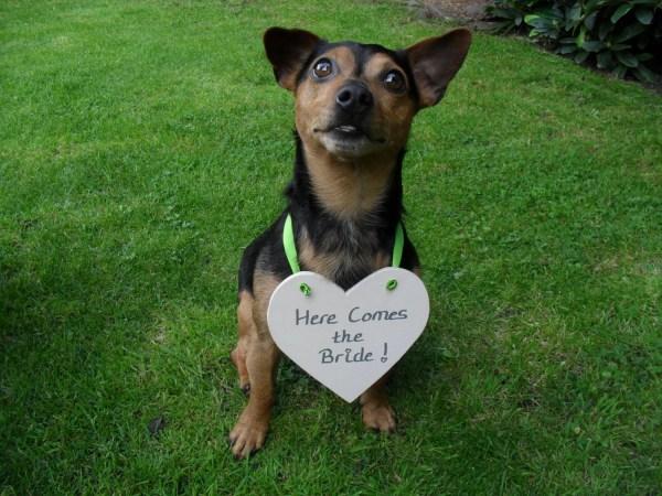 Rustic Wedding Dog Ring Bearer Dog Bow Tie Dog by smccathie