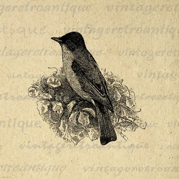 BUY 1 GET 1 FREE Phoebe Bird Antique Digital Image for Printing, Transfers, Cards, and more. High Quality 300dpi No.1007