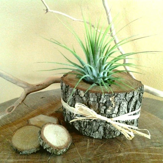 Air plant in natural tree trunk slice rustic wedding for Large tree trunk slices