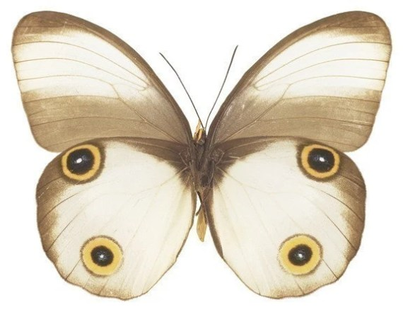 White Moth Vinyl Decal 3 inch wide - WilsonGraphics