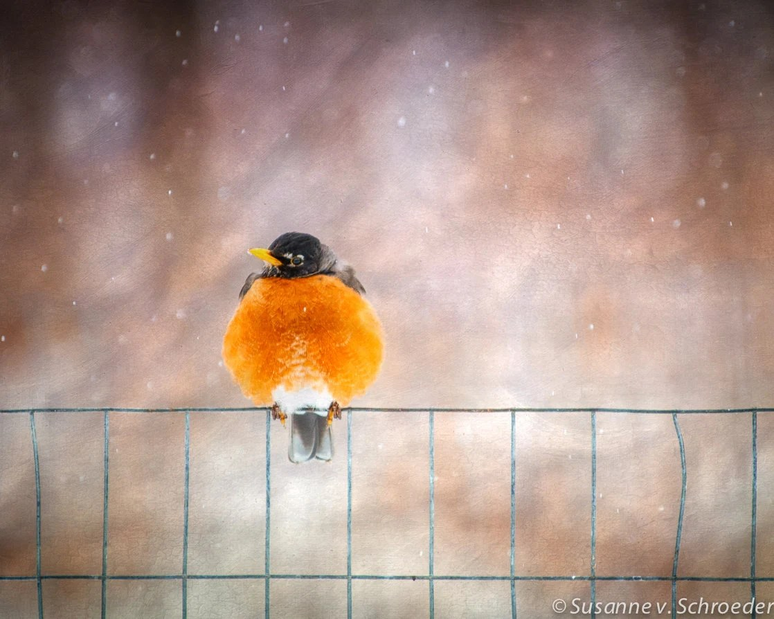 Kid's Wall Art, Robin on Fence, Spring Bird, Nature Photography, Fine Art Print, Orange Red, Snowflakes, Whimsical, Home Decor - SoulCenteredPhotoart