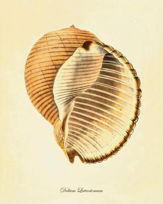 Sea shell Beach decor art nautical print Natural History