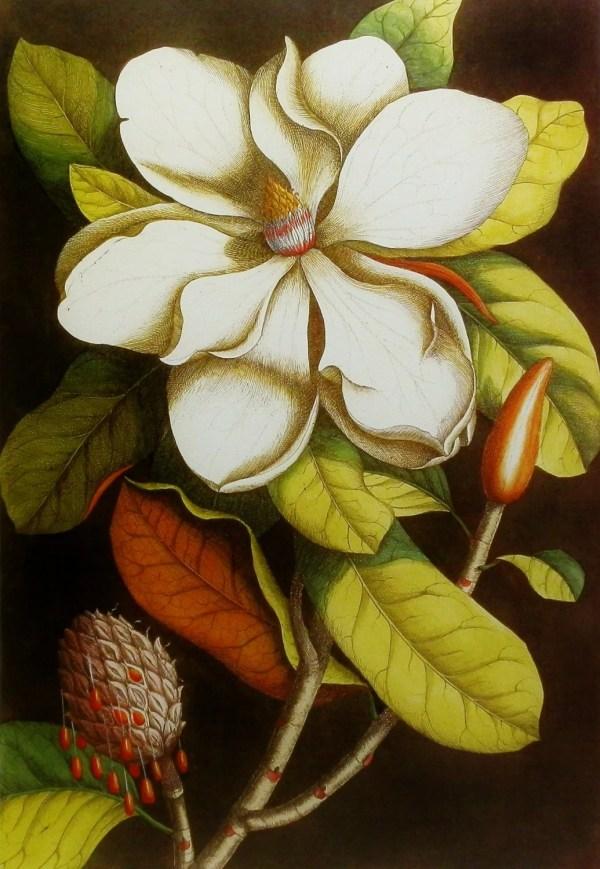 Botanical Print Magnolia Art Southern Paragonvintageprints