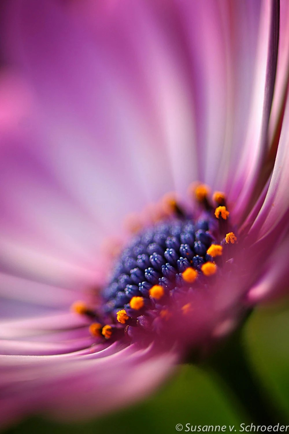Blue Animal Print Wallpaper Nature Photography African Daisy Flower By