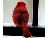 CIJ SALE Small Cardinal Photograph, Animal Photo, Bird, Nature Photography, Red, Black, White, Winter, Woodland- 4x4 inch Print-Cardinal in - ara133photography