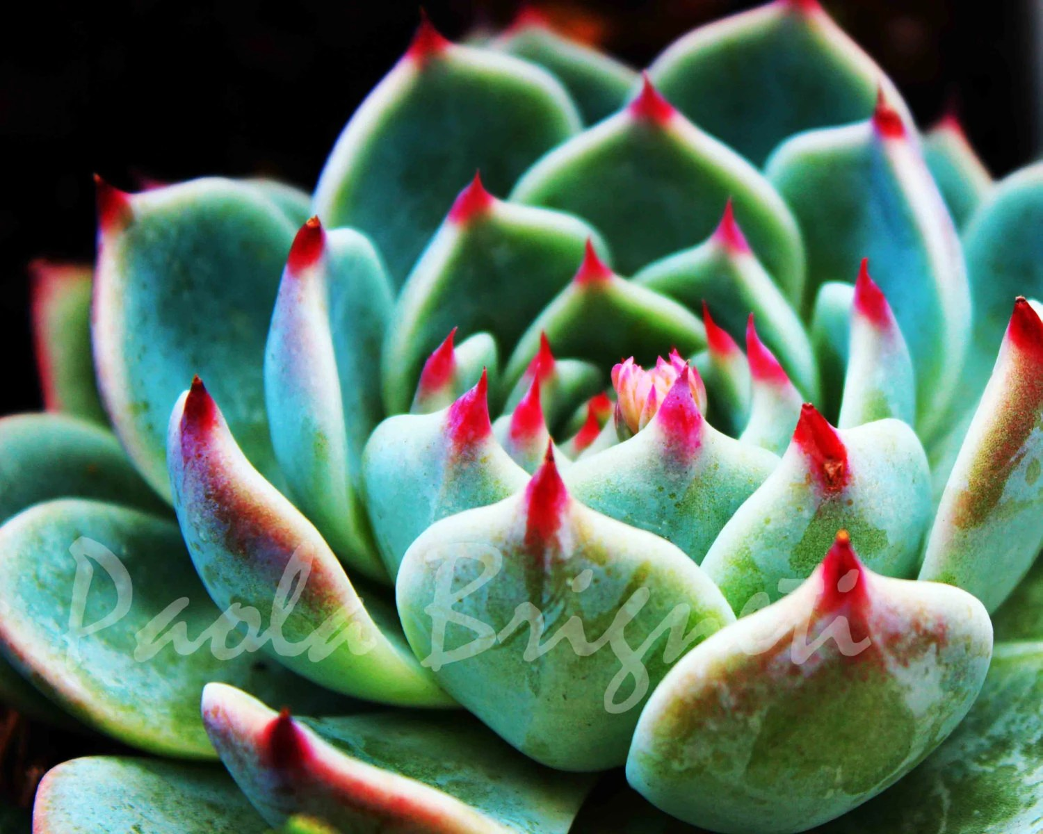 Green and Pink Succulent - Nature Photography -  San Francisco - Fine Art Photography - WorldPhotosByPaola