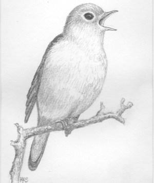 pencil bird drawing nightingale sketch paper drawings oiseau dessin crayon ready rossignol supplied singing birds easy artwork sketches use animals