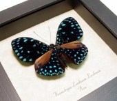 Starry Night Real Van Gogh Blue Butterfly Laodamia 1109 - REALBUTTERFLYGIFTS