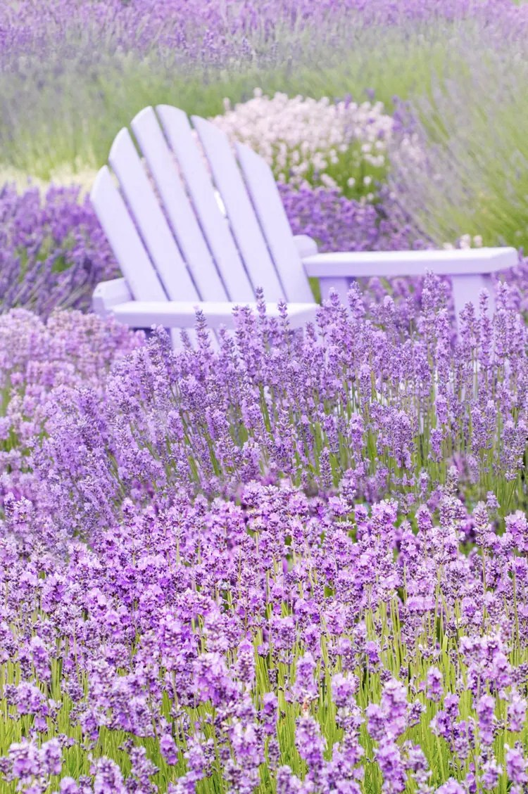 Nature Photography French Lavender Fields Purple Chair