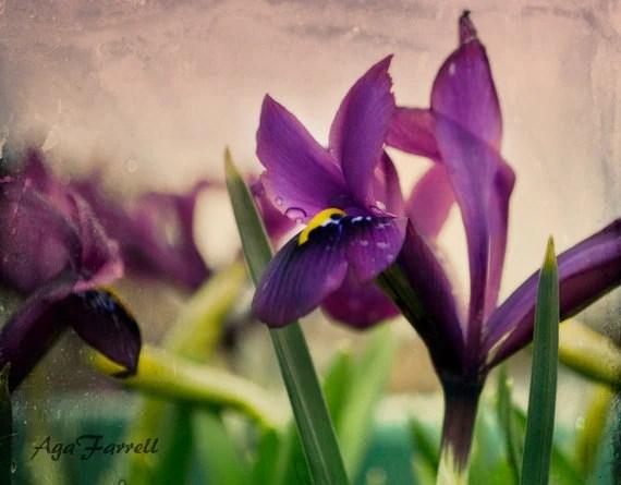 Purple Iris Photography, Botanical Print, Salmon Pink, Green Spring, Violet Blue, Nature Wall Art - AgaFarrell