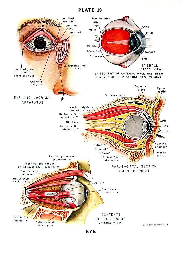 The Human Eye Human Anatomy Chart 1949 Vintage Book Page