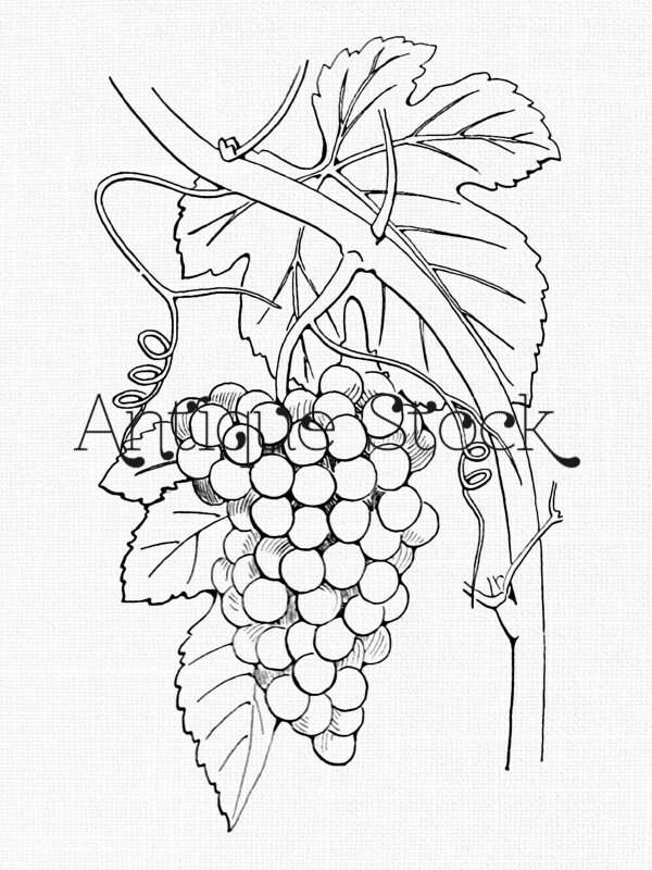 Cluster of Grapes Image Grape Fruit Drawing Vintage