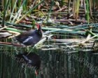 Common Gallinule Photograph // Florida Nature Bird Photo Print // Florida Wetland Photo.