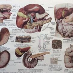 Human Intestines Diagram Fender Kurt Cobain Jaguar Wiring Vintage 1920s Print Anatomy Digestion Mouth Stomach