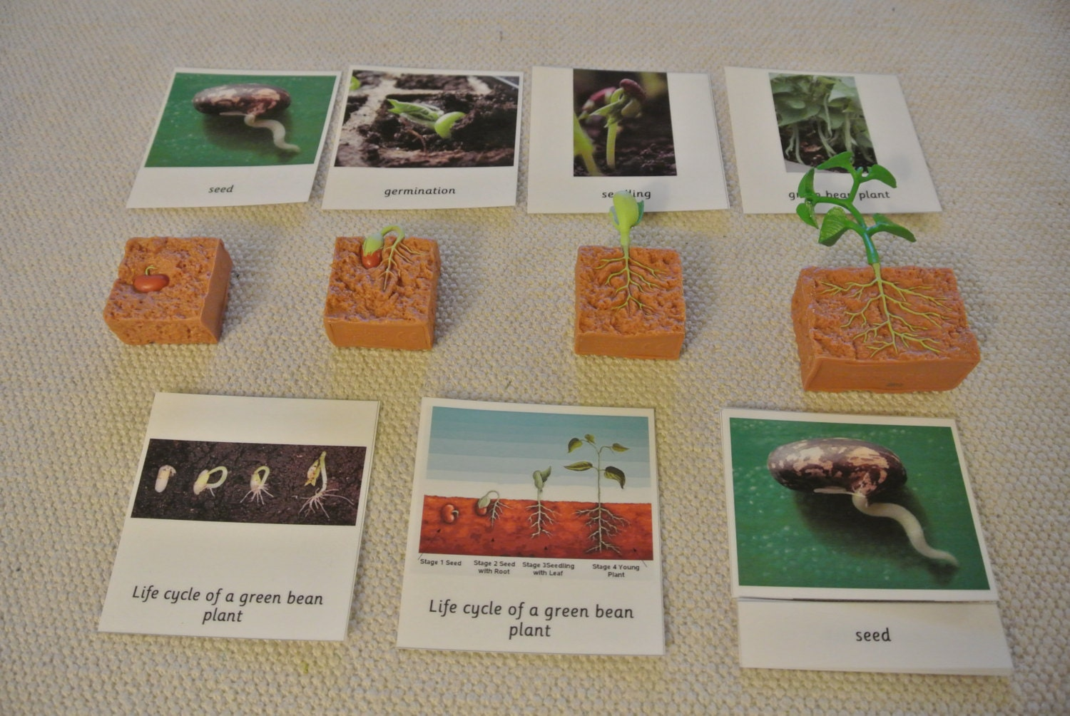 Montessori Life Cycle Of A Green Bean Plant 5 Parts Cards With