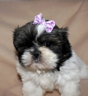 small purple hair bow dogs