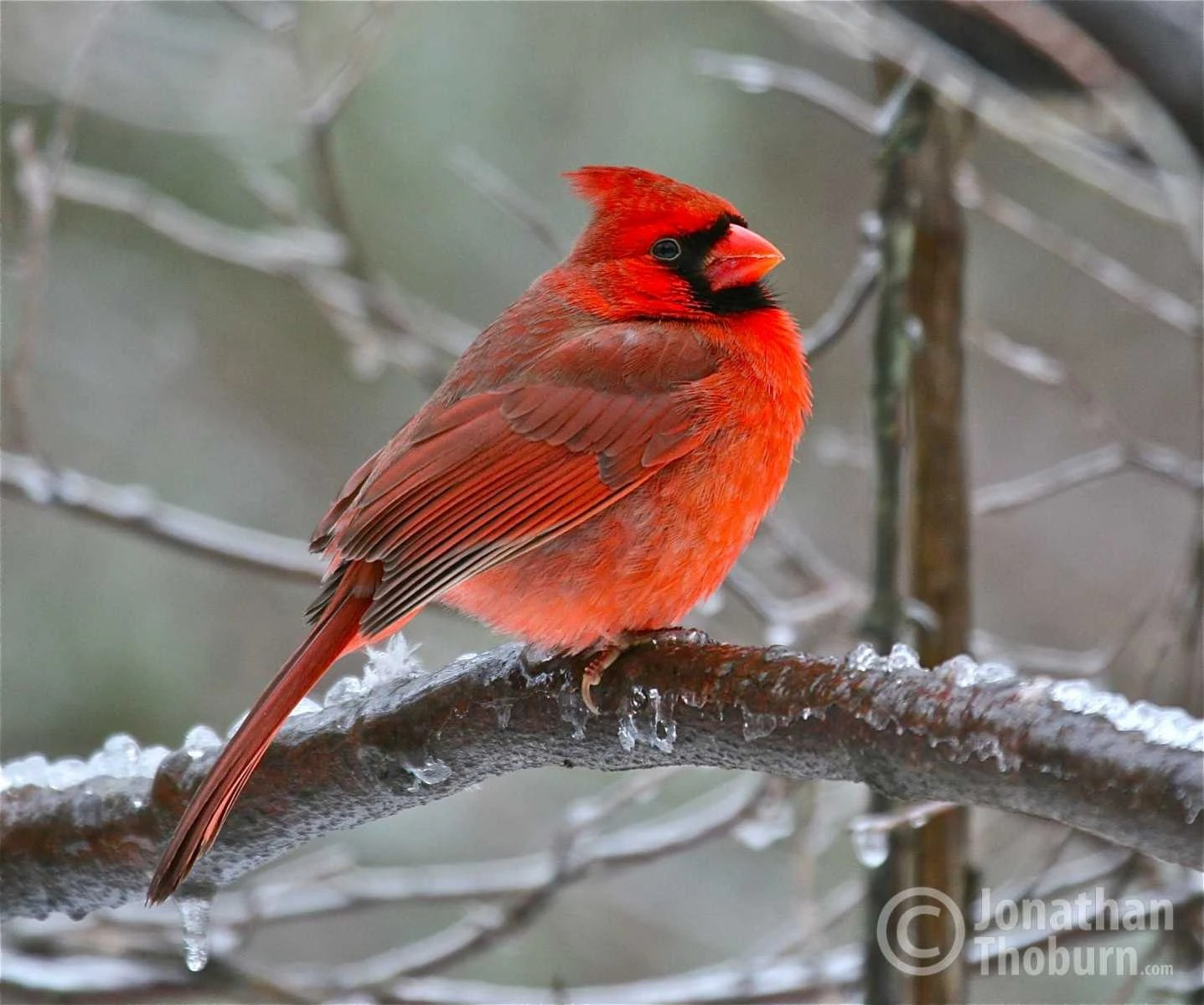Beautiful Virginia State Bird The Cardinal Roughing Out A