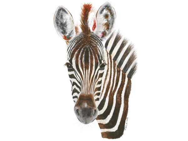 African Animal Art Baby Zebra Print Watercolor