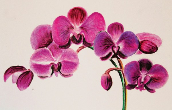 Beautiful Orchid Colored Pencil Drawing Art Print Blank