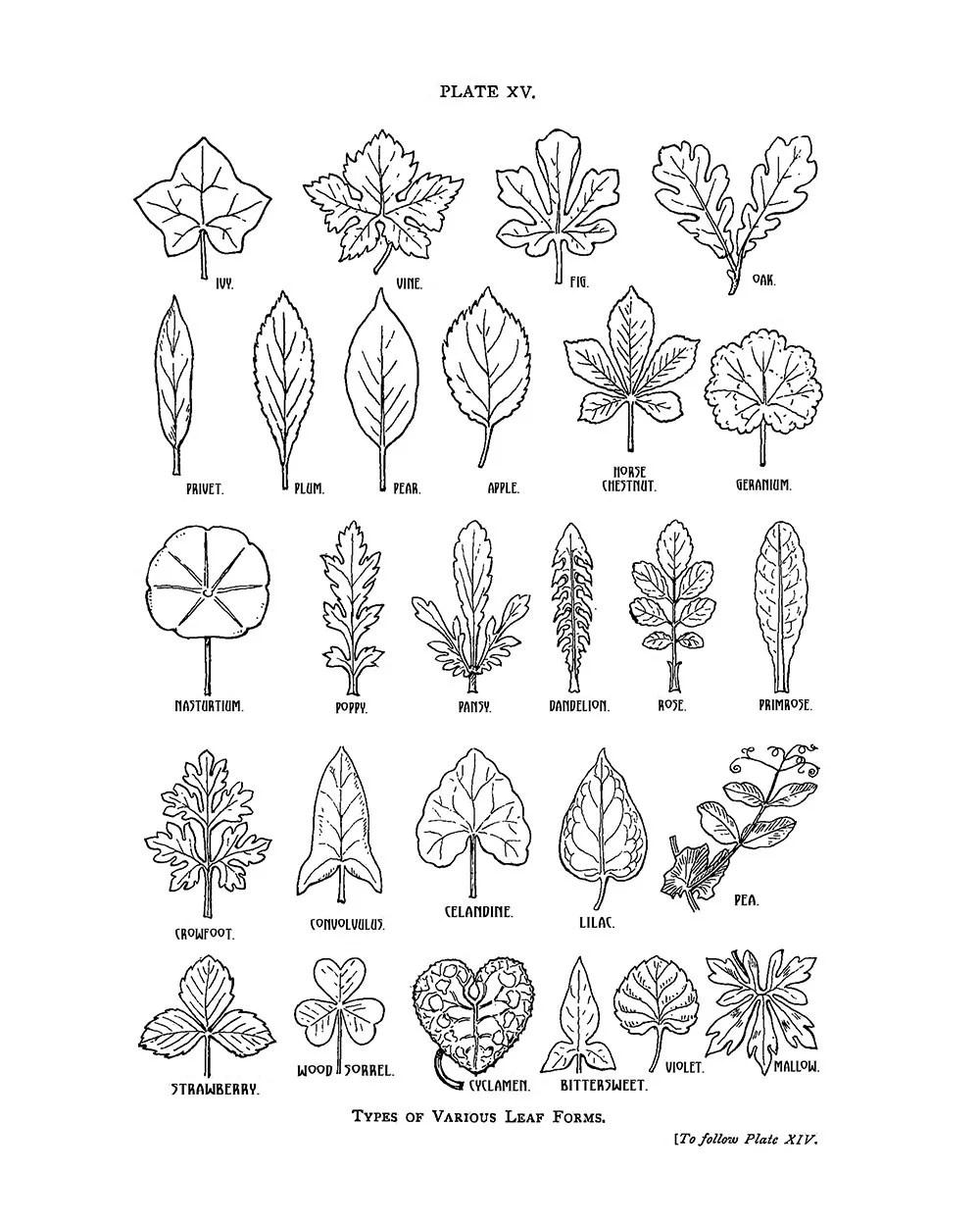 Botanische Blatt Formen Zeichnung Digital remastered Mitte