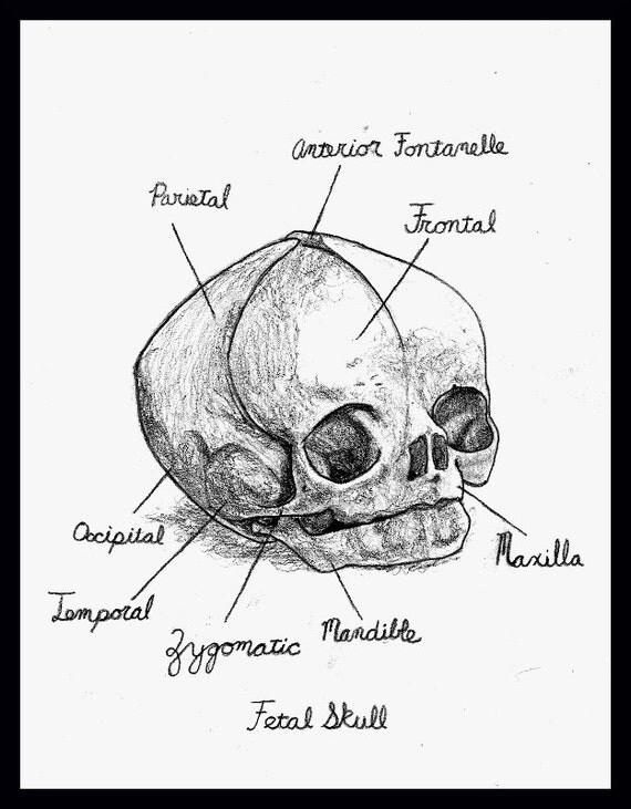 Anatomy of Fetal Skull signed print