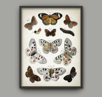 Vintage Butterfly Illustration Wall Art Poster Antique