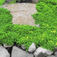 Rupturewort Green Carpet Ground Cover Seeds Herniaria Glabra