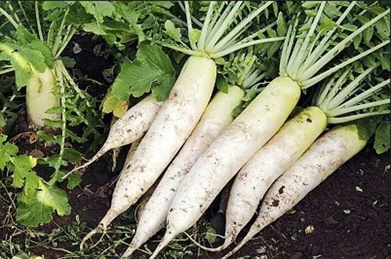 Organic Daikon Radish Japanese Minowase Heirloom Vegetable