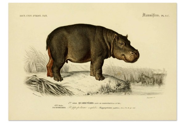 Hippopotamus Print Art Wild Animals Animal