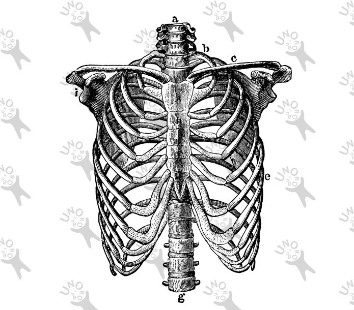 Vintage image Human Anatomical Thorax Chest Retro drawing