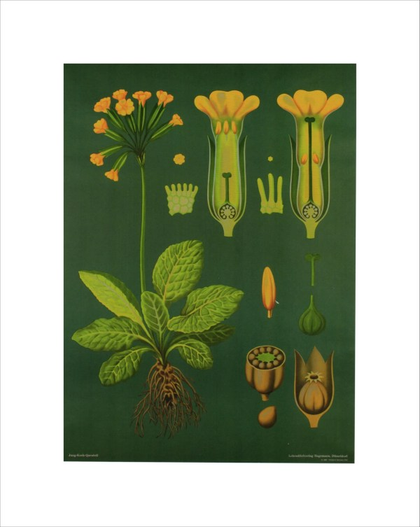Vintage Educational Chart Poster Print Botanical Art