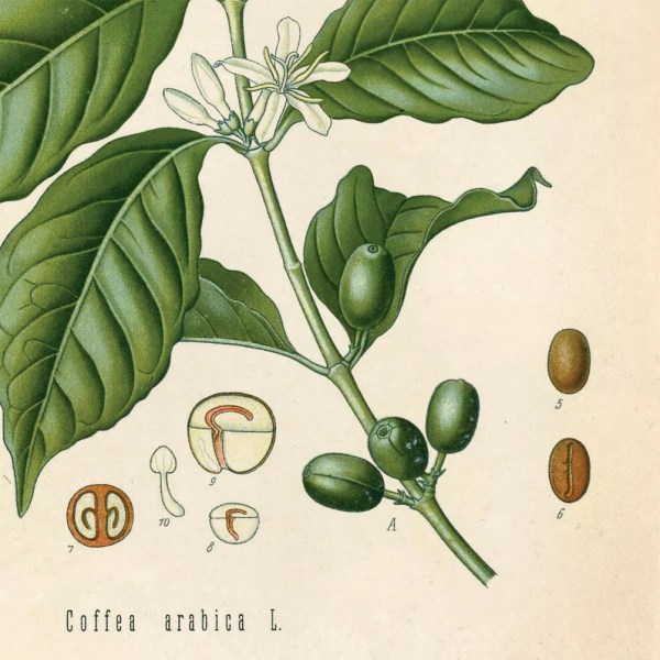 Coffee Bean Vintage Botanical Coffea Arabica Flower Print