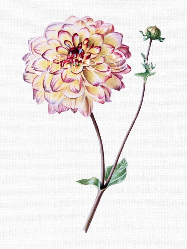 Flower Clip Art 39Multicolored Garden Dahlia39 Botanical