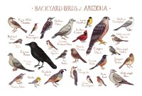 Arizona Backyard Birds Field Guide Art Print / Watercolor