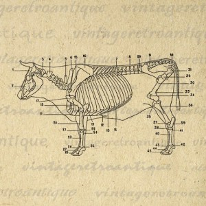 Cow Skeleton Diagram Printable Digital by VintageRetroAntique