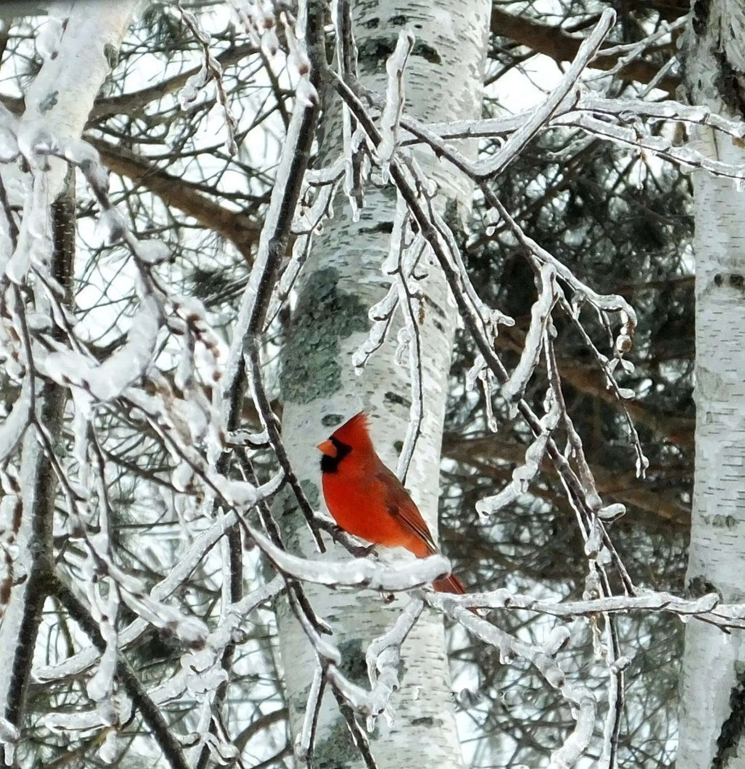 Fall Landscape Wallpaper Desktop Ice Age Cardinal Ice Covered Tree Maine Ice Storm White
