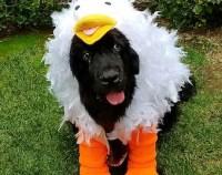 Chicken costume   Etsy