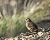 Song sparrow bird | Etsy
