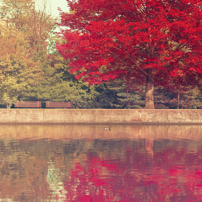Red maple leaf tree in Ottawa along the Rideau Canal